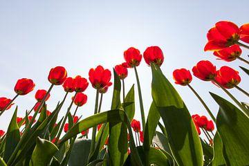 Rode tulpen in tegenlicht vanaf laag standpunt van Henk van den Brink