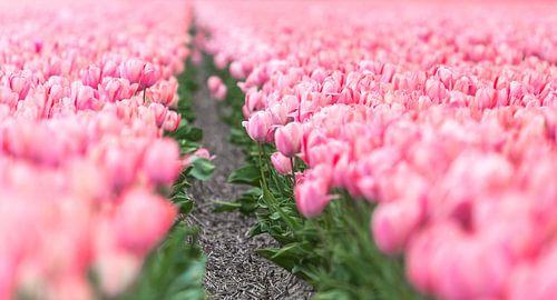 Tulpenveld  van Inge van den Brande