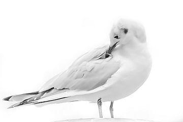 Kokmeeuw zit met zijn snavel in de veren van Fotografie Jeronimo