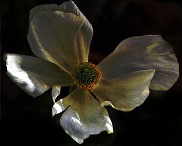 Ranunculus van Christine Nöhmeier