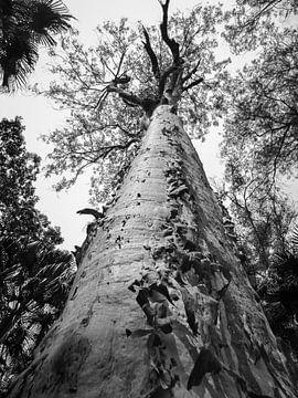 Eeuwenoude boom in Carnarvon National Park, Australie van