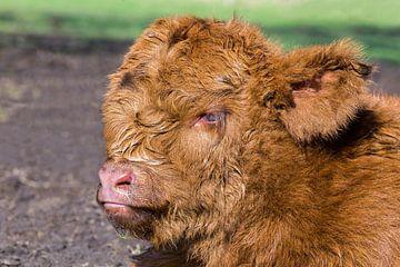 Kop bruin pasgeboren schots hooglander kalf van Ben Schonewille