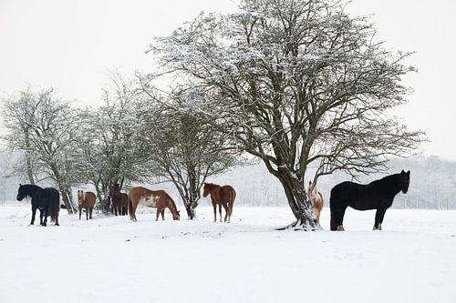 Paarden in de Sneeuw van