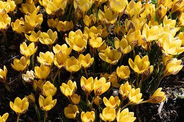 Gele krokussen van Jim van Iterson