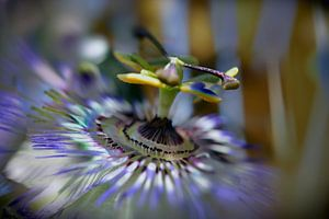 Fleur dela passion