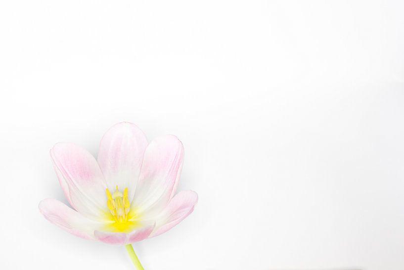 zacht roze tulp van Tonny Visser-Vink