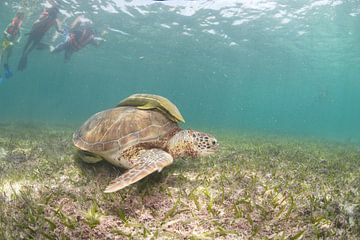 Schildpad van