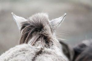 Gros plan d'un cheval konik dans les dunes de Kennemer
