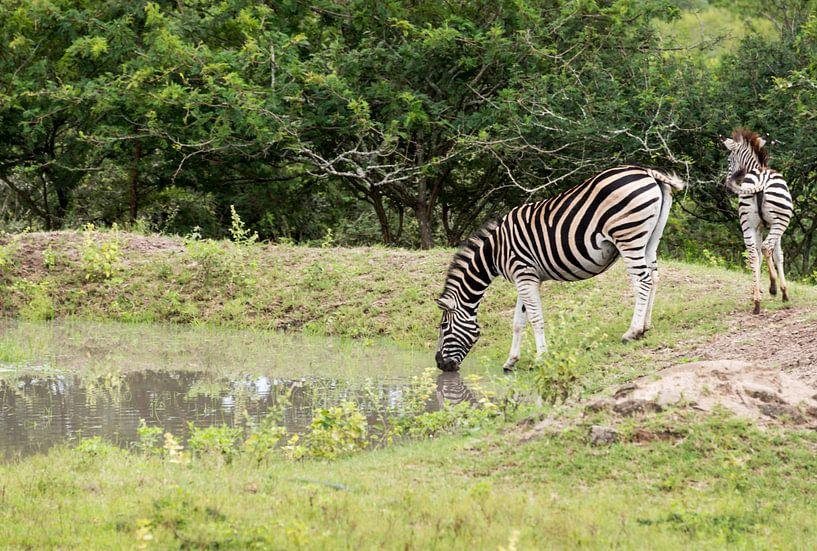 zebra drinking water van Compuinfoto .