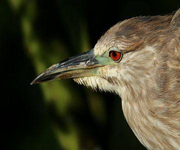 Juvenile Green Heron Portrait - Portrait eines jungen Grünreihers von Christiane Schulze