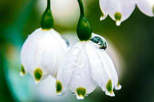 Regendruppel op een witte lenteklokje van