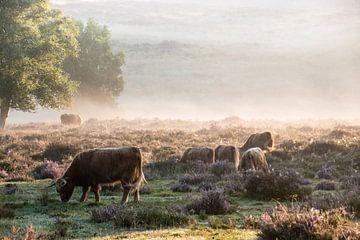 Mookerheide in bloei in de vroege ochtend.... van Marjo Kusters