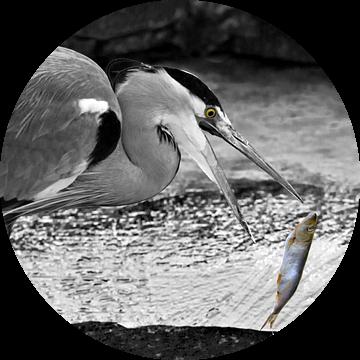 Great Blue Heron fishing in the lake van Ursula Di Chito
