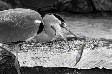 Graureiher beim Fischfang von Ursula Di Chito