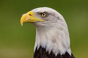 De Bald Eagle, Amerikaanse Zeearend. van Gert Hilbink
