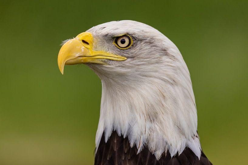 Der Weißkopfseeadler, American Bald Eagle. von Gert Hilbink