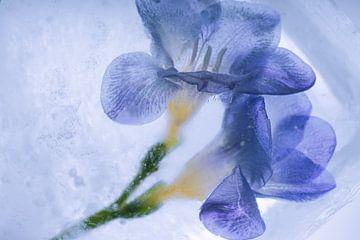 Blauwe fresia's in ijs 3 van Marc Heiligenstein