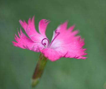 Anjer, fragiel roze in groen. von Cilia Brandts