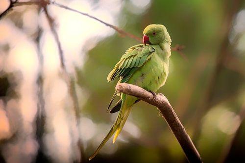 Halsbandparkiet groen