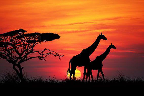 Giraffen bij zonsondergang