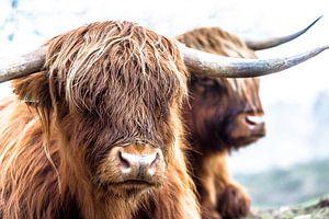 Rustende Hooglanders van Andre Brasse Photography