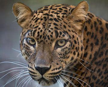 Leopard vous regarde attentivement. sur Patrick van Bakkum