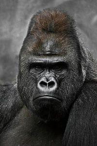 Portret van een krachtige dominante mannelijke gorilla (fysionomie), streng gezicht.