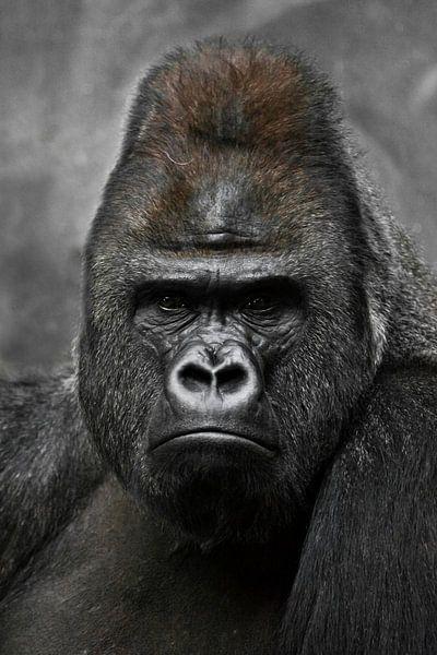Portret van een krachtige dominante mannelijke gorilla (fysionomie), streng gezicht. van Michael Semenov
