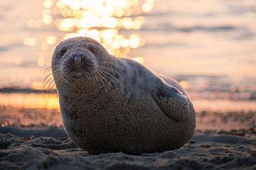 Robbe am Strand von Thom Brouwer