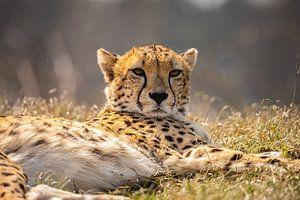 Jachtluipaard, Cheeta. Acinonyx jubatus