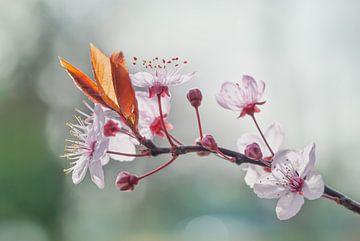 Kirschblüte in der Sonne