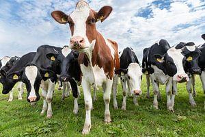 Kühe in Nordholland von Inge van den Brande