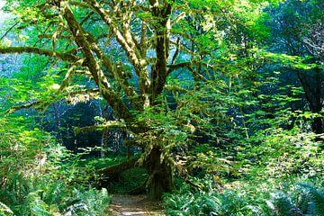 Bemoste groene boom midden in het regenwoud van Redwood