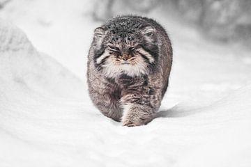 Brutale pluizige wilde kat manul op witte sneeuw komt recht op je af, kracht en pluizigheid. van Michael Semenov