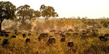Kaapse buffels van Rob Smit