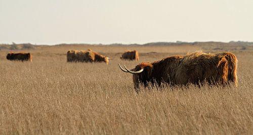 Schotse Hooglanders grazen op Texel / Highland cattle graze on Texel