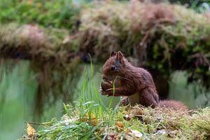Eichhörnchen mit Nussbaum