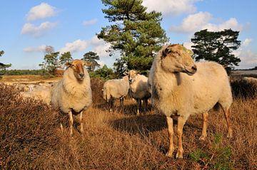 Schafe in der Heide von Ivonne Wierink