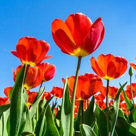 Veld rode tulpen van Patty Elferink