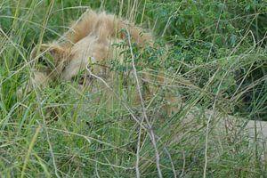 Verborgen leeuw van Peter Polling