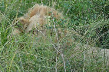 Verborgen leeuw