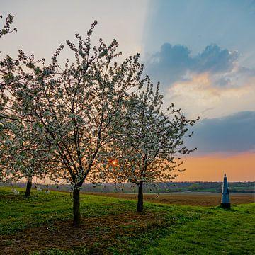 beau coucher de soleil aux couleurs chaudes entre les arbres fruitiers en fleurs à Maastricht à la f