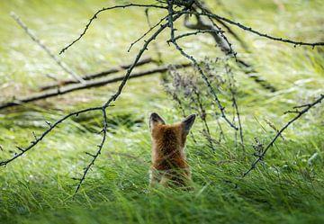 Fuchs von hinten gesehen von Inge van den Brande