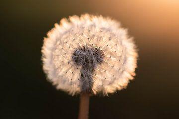 pluisbol in het zonlicht van Tania Perneel
