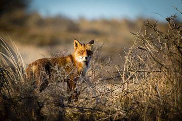 Rode vos in winters duinlandschap van Marcel Alsemgeest