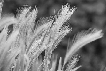 Weizen sw von Niek Traas