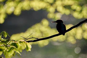 IJsvogel silhouet van