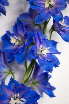 Blau Rittersporne von Margot van den Berg