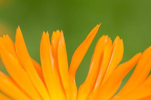 Gele bloem close-up