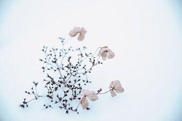Hortensie im Schnee 2 von Ilse Dijkstra